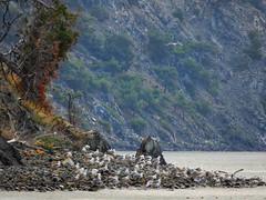 SEAGULLS RELAXING (panoskaralis) Tags: seagull birds relax beach sea seascape seashore seaside seafront seaview lesvos lesvosisland mytilene greece greek hellas hellenic outdoor landscape aegean aegeansea nikon nikoncoolpixb700