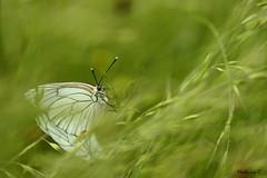 Intimitié - Aporia crataegi (Mathurin C) Tags: macro macrodreams papillon lepidoptere lepidoptera aporia crataegi gazé insecte insecta insectes allier contigny
