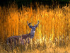 Buck (michaeldantesalazar) Tags: island buck deer whitetail grass tallgrass nature wildlife outdoors orange colour wild canada park manitoba summer animal critter