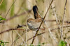 Cetti's Warbler (cettia cetti) (search instagram phat5toe) Tags: cettiswarbler cettiacetti birds feathers avian wildlife nature wigan flashes nikon d7000 tamron150600mm