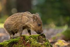 Wild Boar piglet (Ian howells wildlife photography) Tags: wildlifephotography wild boar wildboar nature naturephotography unitedkingdom ianhowells ianhowellswildlifephotography humbug