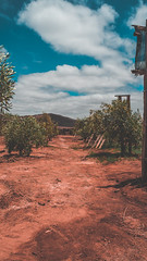 Olivos (mannuel_asd) Tags: desierto chile sky desert sunshine sunset olive tree