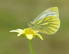 Green-veined White Pieris napi. (Iain Leach) Tags: wildlifephotography photograph image wildlife nature iainhleach wwwiainleachphotographycom canon canoncameras photography macro macrophotography closeup butterfly moth lepidoptera insect invertebrate greenveinedwhite pierisnapi