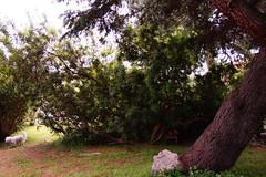 promenade dans la jungle (guydhotel34) Tags: chien cèdre jardin garden littledog