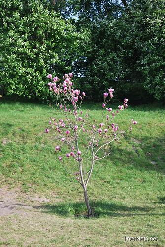Ботанічний сад імені Гришка Цвітуть магнолії InterNetri  Ukraine 173