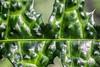 IMG_7425-1ri (kleiner nacktmull) Tags: apsc bunt canon camera colourful colour colorful color city deutschland dslr eos europa europe foto flickr farbig frankfurtammain frankfurt germany garden garten green grün hesse hessen kleinernacktmull kolle kamera lens main manual manuell m42 makro macro nacktmull nature natur objektiv photo plant pflanze rheinmaingebiet rhein rhine russianlens russisch russian stephankolle stephan stadt palmengarten 60d 50mm industar stechpalme holly leave