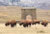 Bison grazing near Roosevelt Arch in the spring (YellowstoneNPS) Tags: gardiner jacobwfrank northentrance rooseveltarch ynp yellowstone yellowstonenationalpark bison spring