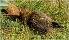 Fresher IIc (lukiassaikul) Tags: wildlifephotography wildanimals wildbirds gardenbirds urbanwildlife littlebirds robin juvenilerobin europeanrobin sunshine spring sunbathing