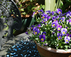 pansies (dick_pountain) Tags: flowers flower pansies garden london chair table castiron