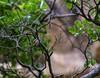 20180407-0I7A9743 (siddharthx) Tags: achampet bird birdwatching birdsofindia birdsoftelangana canon canon7dmkii closerange dawn dawnsunriseumamaheshwaram ef100400f4556isii goldenhour portraiture sunrise telangana umamaheshwaramtemple umamaheshwaram india in yellowthroatedbulbul bulbul tree leaf wood