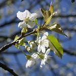 Au jardin, cerisier en fleurs, Bosdarros, Béarn, Pyrénées Atlantiques, Aquitaine, France. thumbnail