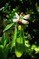 Backlit Rhodo (Stephen Reed) Tags: spring trees flowers rhswisley garden woodland surrey nikon d7000 lightroomcc photoshopcc naturalbeauty