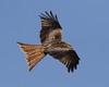 Red Kite (Wayne A J.) Tags: red kite garden birds five roads