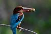 蒼翡翠常見的食物螃蟹會先去腳在吞食 (安頭(金門)) Tags: 白胸翡翠 蒼翡翠 whitebreastedkingfisher sony ilca77m2 a77m2 sonyilca77m2 sal500f40g sony500mmf4gssm a99ii a99m2 金門 金門鳥 sonyilca99m2 bluetailedbeeeater meropsphilipennus 鳥 木質 樹 相中人