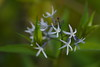 Evening stars (baro-nite) Tags: wildflowers apocynaceae amsonia enoriver centralnorthcarolina pentax k1 mirex tiltshift smcpentaxa645macro14120mm iridientdeveloper