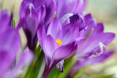 Purple Crocuses (Karen_Chappell) Tags: flower nature macro purple crocus floral canonef100mmf28usmmacro spring park bowringpark canada atlanticcanada avalonpeninsula stjohns bokeh