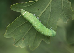 """""""Orthosia cerasi"""" (bugman11) Tags: tweestreepvoorjaarsuil bug bugs insect insects fauna green nature caterpillar caterpillars animal animals orthosiacerasi leaf leaves nederland thenetherlands canon 100mm28lmacro boxtel kampina"""