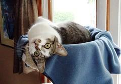 Getting a Better View (alwaysakid) Tags: upsidedown cat feline animal blanket kitty fur relax