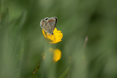 Buttercup dip (microwyred) Tags: events nature flower flying insects greencolor outdoors animal summer backgrounds plant butterflyinsect macro closeup butterfly beautyinnature insect meadow multicolored wildlife animalwing yellow springtime brownargus