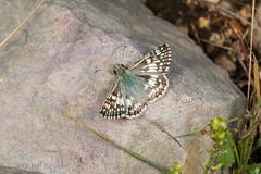 Checkered Skipper (jgruber111) Tags: pyrgus pyrgini pyrginae hesperiidae skipper butterfly papilionoidea lepidoptera insect macro entomology checkeredskipper