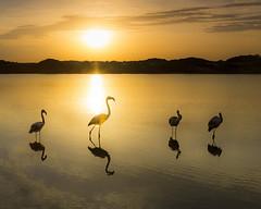 Flamingo Sunrise. (dasanes77) Tags: canoneos6d canonef1635mmf4lisusm tripod landscape seascape cloudscape clouds wildlife flamingos free lake reflections shadows silhouette birds nature calm albuferaofvalencia valencia