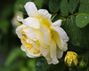Rose (LuckyMeyer) Tags: rose flower fleur yellow english garden makro green plant blume blüte