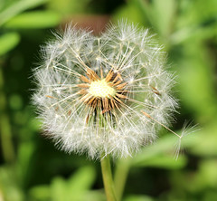 wishes... (the.haggishunter) Tags: seedhead seeds wishes dandelion wild flower