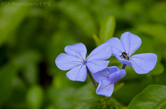 DSC_6710 (kmylamparo) Tags: flowers insect palawan philippines nature travel explore