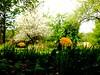 Pommiers en fleurs et pissenlits. (Lise1011) Tags: olympusomd olympus outdoor nature landscape paysage printemps spring white blanc jaune yellow fleurs flower pissenlit trees apple pommier arbres