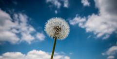 Those Summertime White & Blues (p.g604) Tags: rollwrightstones 20180519imgp3517 littlerollright england unitedkingdom gb dandelion taraxacum summer clouds blue stem white sky pentax k1