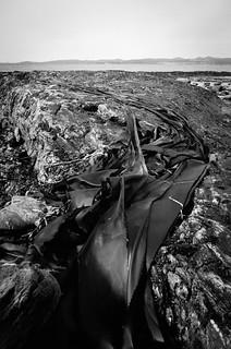 Leathery Kelp