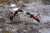 Ant talk (jaimepandobalust) Tags: ant hormigas insectos