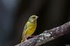 Verdier d' Europe (gilbert.calatayud) Tags: carduelischloris europeangreenfinch fringillidés passériformes verdierdeurope bird oiseau graulhet tarn occitanie