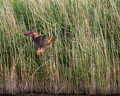 Bittern incoming (nathian brook) Tags: birds bittern ukbirds staidans rspb