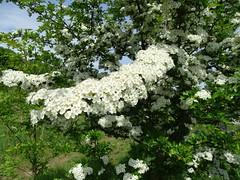Hawthorn blossom (Kniphofia) Tags: hawthorn blossom may tree crataegusmonogyna