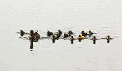 On Golden Pond (crusader752) Tags: ducks mallard chicks brood golden