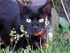 IMG_7513 (kennethkonica) Tags: cat animalplanet animal animaleyes canonpowershot canon indianapolis indiana indy usa hoosier midwest pet america random outdoor