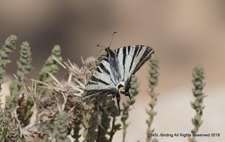 Scarce Swallowtail- Rhodes