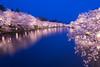 弘前公園 (かがみ~) Tags: aomori sakura leicaq hirosaki leica yozakura japan typ116 さくら 夜桜 弘前 日本 青森 hirosakishi aomoriken jp