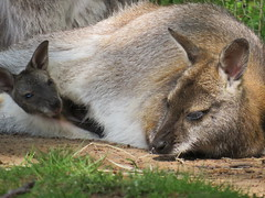 IMG_0207 (duncansmith50) Tags: yorkshirewildlifepark lions polar bears black rhino tigers giraffes doncaster
