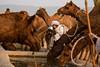 Pushkar Mela. Rajasthan (Tito Dalmau) Tags: rabari man camels water fair mela pushkar rajasthan india