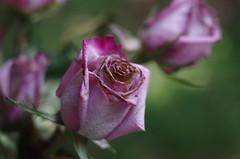 Antique Roses (bamboosage) Tags: macro yashinon 28 ƒ60mm preset m42