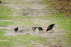 DSC09643.jpg (joe.spandrusyszyn) Tags: circlebbarreserve vertebrate nature polkcounty rallidae animal gruiformes unitedstatesofamerica commongallinule moorhen juvenile gallinula byjoespandrusyszyn florida bird gallinulagaleata lakeland