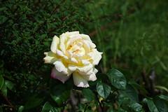 DSC_2444 (PeaTJay) Tags: nikond70s reading berkshire lowerearley outdoors gardens flowers plants fuchsia rose roses rosebuds