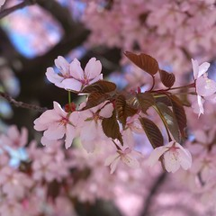 Delicate beauty (annesusanna) Tags: cherryblossom flowers spring pink helsinki finland