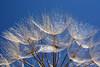 Dandelion vu de dessous _9871 (ichauvel) Tags: dandelion pissenlit fleur dessous under cielbleu bluesky exterieur outside mai may saintraphael côtedazur provencealpescôtedazur var europe westerneurope france flower nature beautyofnature printemps spring pissenlitgracile getty