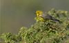 Prairie Warbler (salmoteb@rogers.com) Tags: bird warbler wild outdoor prairie nature wildlife ontario canada songbird perch yellow animal