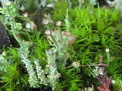 three cups (chaerea) Tags: algae bc canada forest forestfloor fungi lichen mycology nature woodland cladonia