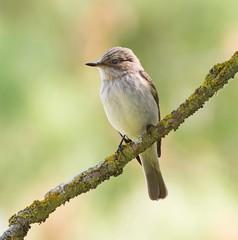 Spotted Flycatcher (Lutra56) Tags: flycatcher spottedflycatcher birds nature mallorca wildlife