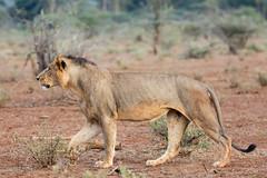 Tsavo Lion (Thomas Retterath) Tags: tsavowest afrika africa kenya abenteuer wildlife adventure safari natur nature thomasretterath mähne pantheraleo lion bigfive löwe felidae raubtiere predator carnivore säugetier mammals animals tiere mane